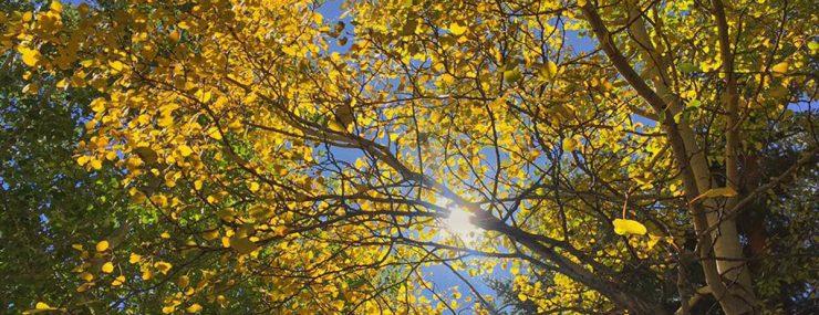 Aspen Trees in Breckenridge, Colorado