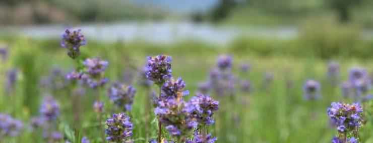 Wildflower Hikes near Breckenridge